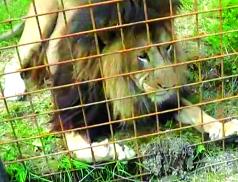 Výsledky vyšetřování: Chovatele ve Zděchově zabil jeho lev
