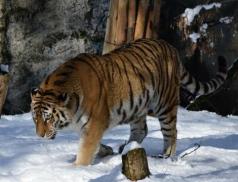 Nový tygří samec se ve zlínské zoo skvěle adaptoval