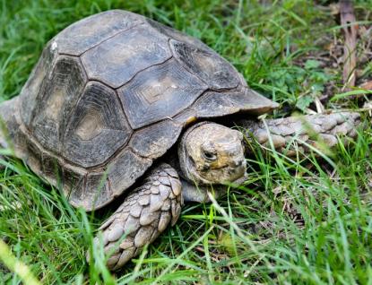 První mládě želvy mohutné, které přišlo na svět ve zlínské zoo, se stalo světovým unikátem