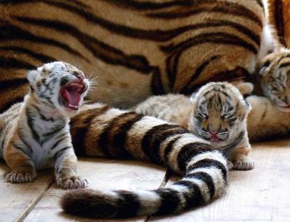 Ve zlínské zoo se narodila tři mláďata tygra ussurijského