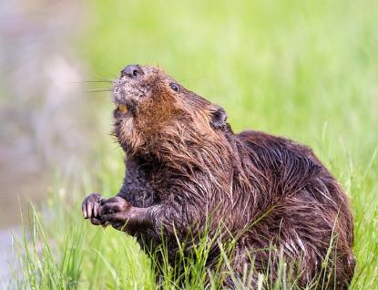 Škody způsobené chráněnými živočichy proplatí kraj
