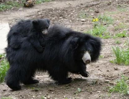 Sameček medvěda pyskatého byl ve zlínské ZOO poprvé ve venkovním výběhu