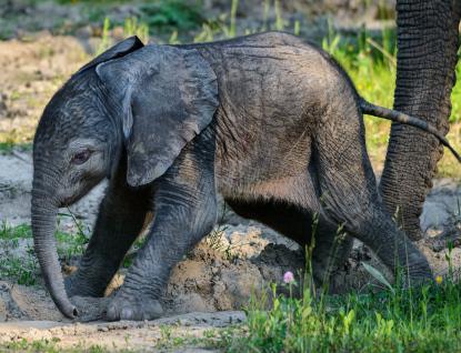 Obrovská radost ve zlínské zoo! Slonici Kali se narodilo zdravé slůně