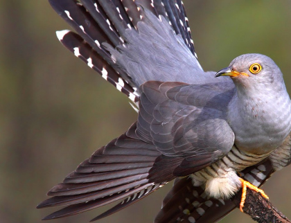 Epické putování kukačky. Pták vědce ohromil