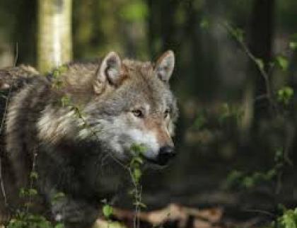 Vkraji škodili bobři evropští i vlk obecný