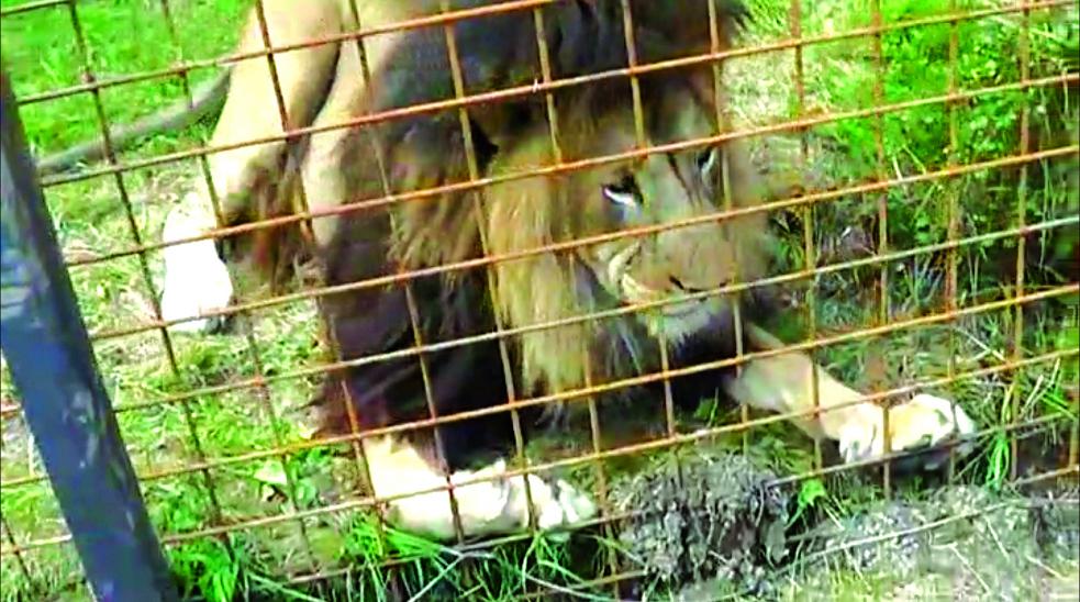 Jeden z chovaných lvů zabil ve Zděchově svého majitele. Zásahovka obě šelmy zastřelila