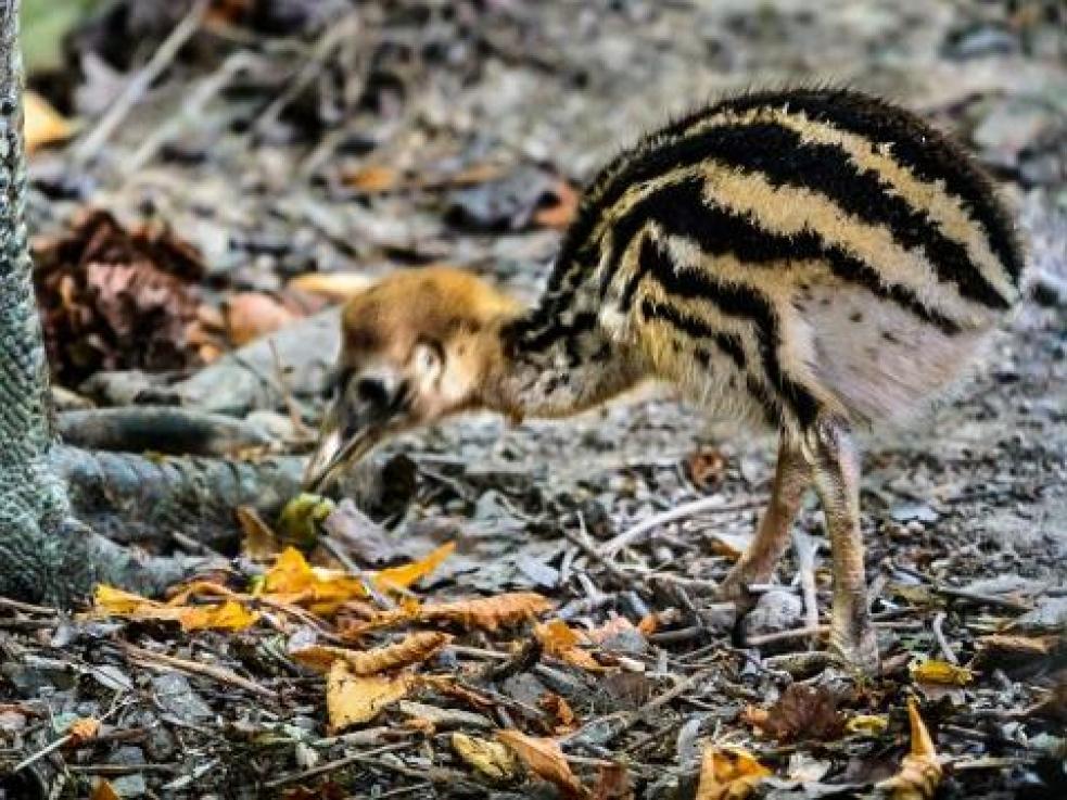 Zlínská zoo má mládě kasuára přilbového