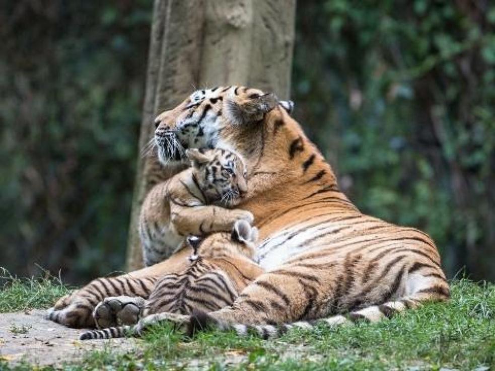 Tygří mláďata ve zlínské zoo jsou dvě samičky a jeden sameček
