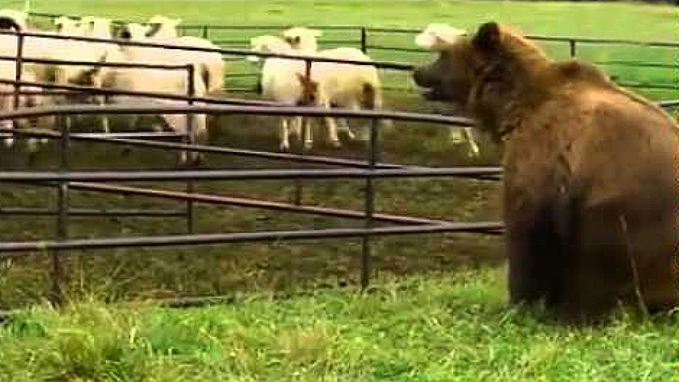 Medvěd toulající se Valašskem začíná vystrkovat růžky. Napadl ovce a zničil včelíny