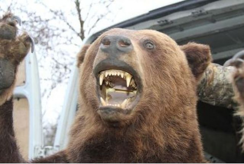 Medvěd na Valašsku znovu zabíjel. Tentokrát to odnesly kozy