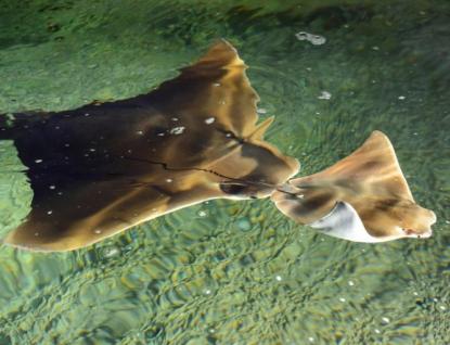 Za odchov mořských rejnoků získala zlínská zoo první místo v chovatelské soutěži