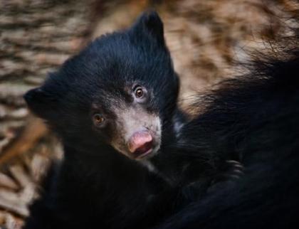 Mládě medvěda pyskatého je splněním chovatelského snu