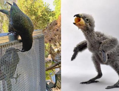 Zlínská zoo poprvé odchovala mládě papouška nestor kea