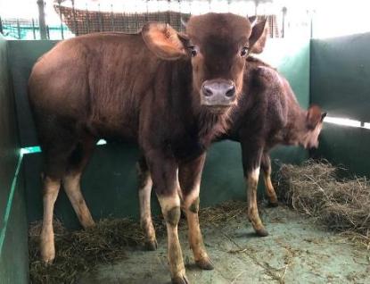Zlínská zoo získala vzácné gaury indické, největší tury na světě