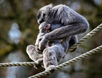 Zlínská zoo chystá křtiny Gibona stříbrného, kmotrou bude Lenka Krobotová