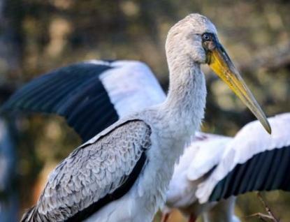 Zlínská zoo poskytla tři páry nesytů afrických zoo v San Diegu