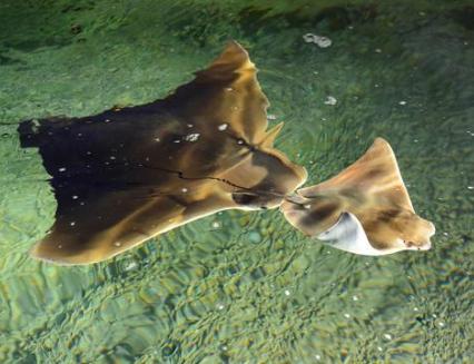 Ve zlínské zoo se narodilo první mládě mořského rejnoka