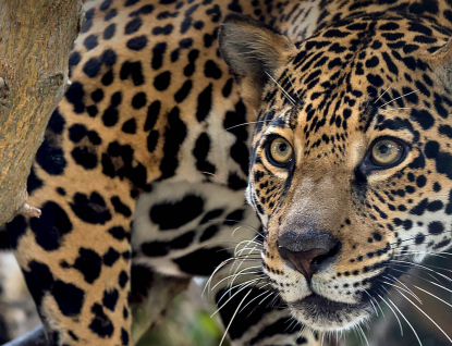 Do zlínské zoo se vrátí po 25 letech jaguáři