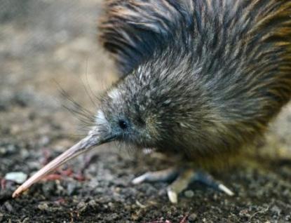 Zlínská zoo chová kiwiho. Uvidět ho můžete brzo ráno