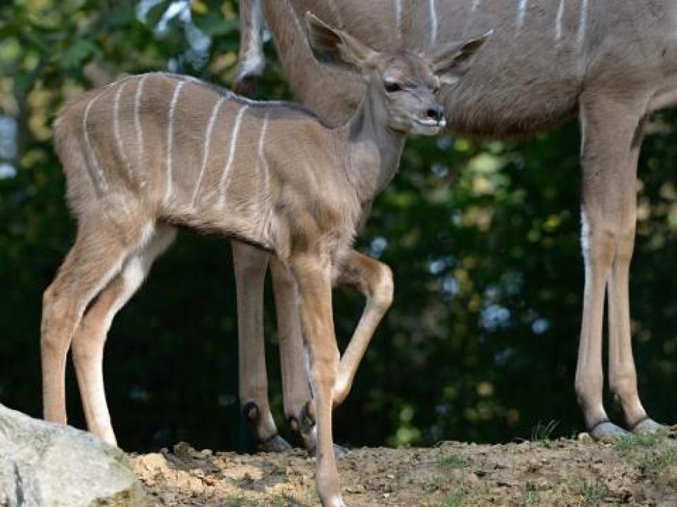 Zlínská zoo má mládě kudu velkého