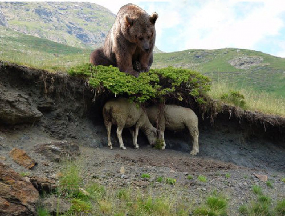 Medvěd  se vrátil pro potrhané ovce. Když je nenašel, zabil další