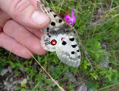 Vzácným motýlům zachrání život značka fixem