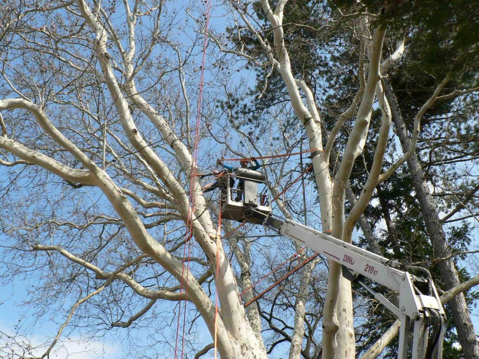 Památný platan v parku Botanika ošetřili odborníci
