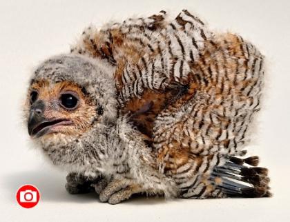 Zlínská zoo odchovala puštíka tečkovaného, a to jako první zoo mimo asijský kontinent