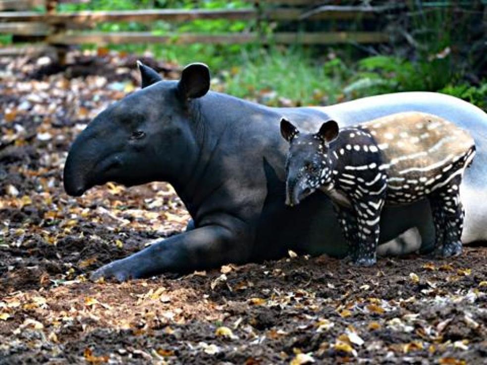 Ve zlínské zoo se narodilo mládě tapíra čabrakového
