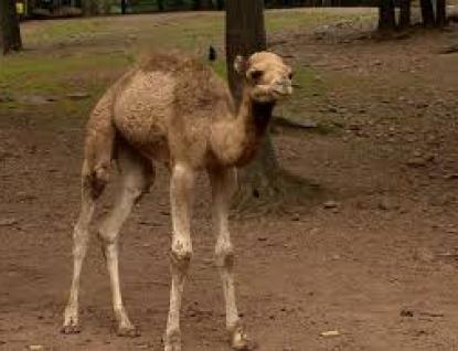 Mládě velblouda je ve zlínské zoo k vidění ve výběhu