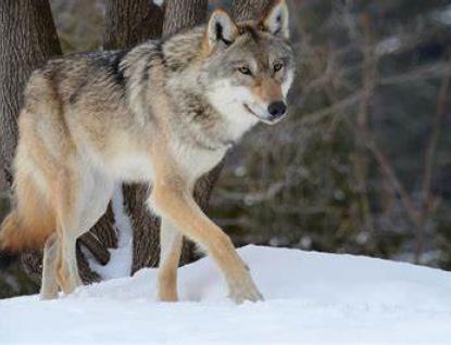 Krajský úřad zaplatí chovatelům škody způsobené vlkem a rysem