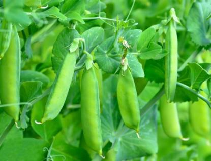 Zahradnické rady na červen. Červen – první sklizeň