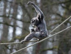 Zlínská zoo vůbec poprvé odchovala mládě ohroženého gibbona stříbrného