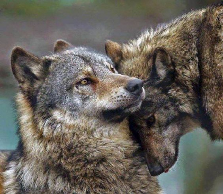 Krajský úřad proplatí škody způsobené medvědem a vlkem